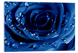 Acrylic print  Blue Roses with Water Drops