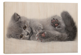 Wood print  British Shorthair Kitten 23 - Heidi Bollich