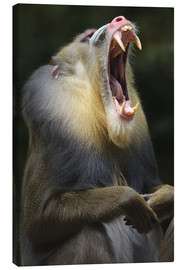 Canvas print  Mandrill with open mouth - Andreas Keil