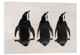 Foam board print  Three African penguins - Catharina Lux
