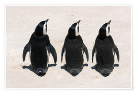 Poster Three African penguins