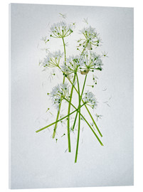 Axel Killian - Allium ursinum, medicinal herb