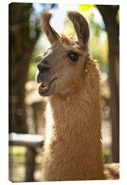Canvas print  The most photogenic Lama in Padagonia - Chris Seba