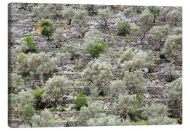Canvas print  Olive grove in Mallorca - Steffen Beuthan