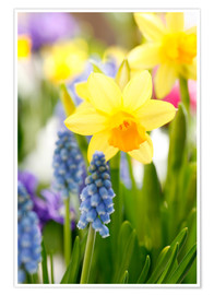 Premium poster Daffodils, Easter flowers, Easter bells, grape hyacinths, onion plants