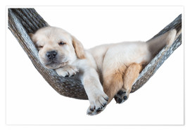 Poster  Labrador puppy in hammock - Beate Margraf