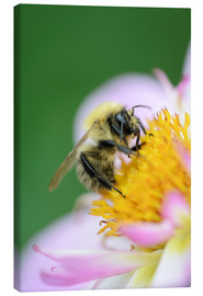 Canvas print  Honeybee on a dahlia - Andreas Keil