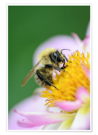 Premium poster  Honeybee on a dahlia - Andreas Keil
