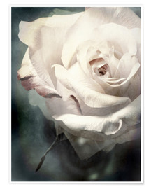 Premium poster  Flower of a white rose - Alaya Gadeh