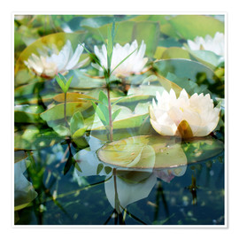 Premium poster  Montage of white water lilies - Alaya Gadeh