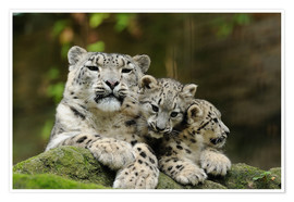 Premium poster  Mother with pups, Irbisse - David & Micha Sheldon