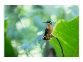 Premium poster  Hummingbird female on a branch - Alex Saberi