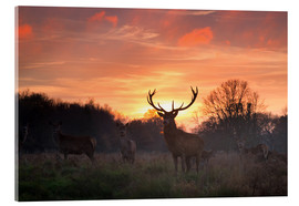 Acrylic glass  A Red deer stag, Cervus elaphus, standing in London's Richmond Park. - Alex Saberi