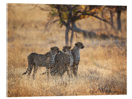 Acrylic glass  A group of Cheetah, Acinonyx jubatus, on the lookout for a nearby leopard in Namibia's Etosha N - Alex Saberi