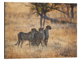 Aluminium print  Cheetah group on the hunt - Alex Saberi