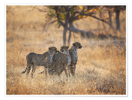 Premium poster  Cheetah group on the hunt - Alex Saberi