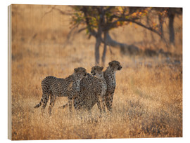 Wood  A group of Cheetah, Acinonyx jubatus, on the lookout for a nearby leopard in Namibia's Etosha N - Alex Saberi
