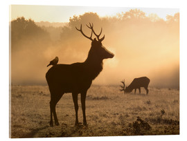 Acrylic glass  A Red deer with Western jackdaw in London Richmond Park - Alex Saberi