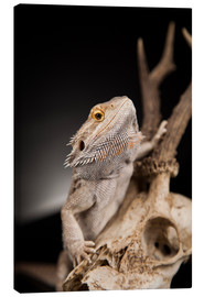 Canvas print  Bearded dragon climbs