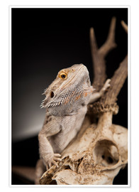 Premium poster  Bearded dragon climbs