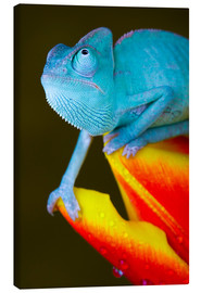 Canvas print  blue chameleon