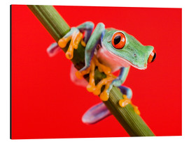 Aluminium print  Tree frog on red