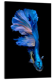 Acrylic glass  magnificent blue fish