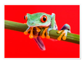 Poster  Rotaugenlaubfrosch to red