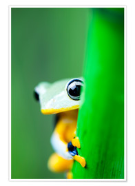 Premium poster  yellow tree frog