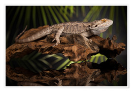 Premium poster  Bearded dragon relaxes