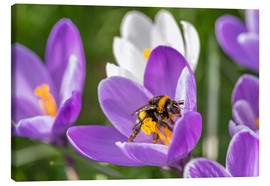 Canvas print  Spring flower crocus and bumble-bee - Remco Gielen