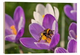 Wood print  Spring flower crocus and bumble-bee - Remco Gielen