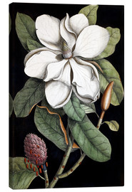 Canvas print  Magnolia - Mark Catesby