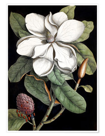 Poster  Laurel Tree - Mark Catesby