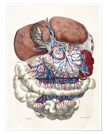 Premium poster Internal organs, Liver, Stomach, Intestines