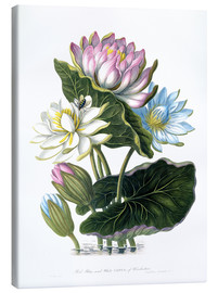 Canvas print  Red, Blue, and White Lotus, of Hindostan - James Forbes