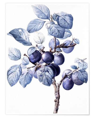 Premium poster Branch of a plum with fruits