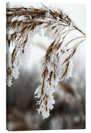 Canvas print  Cereal stalk covered with frost