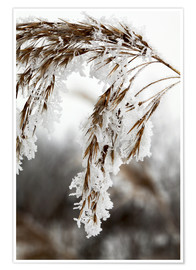 Premium poster  Cereal stalk covered with frost