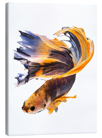Canvas print  Campfish orange and blue
