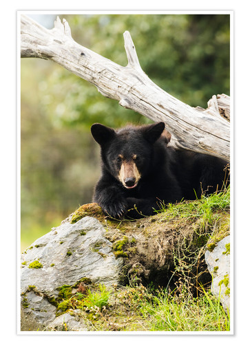 Premium poster Black bear cub (ursus americanus), captive at the Alaska Wildlife Conservation Center, South-central