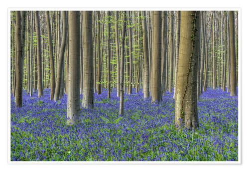 Premium poster Bluebells in the beech forest