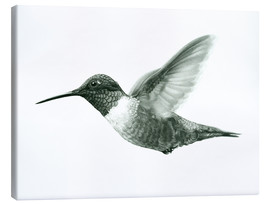 Canvas print  Ruby Throated Hummingbird Sketch - Ashley Verkamp