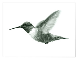 Premium poster  Ruby Throated Hummingbird Sketch - Ashley Verkamp