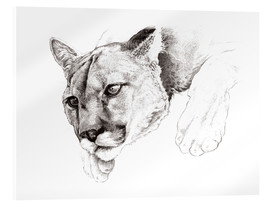 Acrylic print  Sketch Of A Captived Mountain Lion - Ashley Verkamp