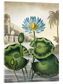 Acrylic print  The blue Egyptian water-lily - Robert John Thornton