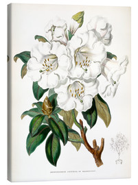 Canvas print  Rhododendron Countess of Haddington - Sowerby Collection