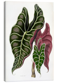 Canvas print  Alocasia Lowii - Sowerby Collection
