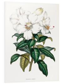 Foam board print  Rhododendron calophyllum - Sowerby Collection