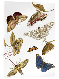 Acrylic print  Moths and butterfiles - Maria Sibylla Merian
